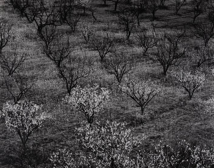 Orchard, Early Spring by Ansel Adams